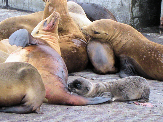 Sea lion pup resting near mother