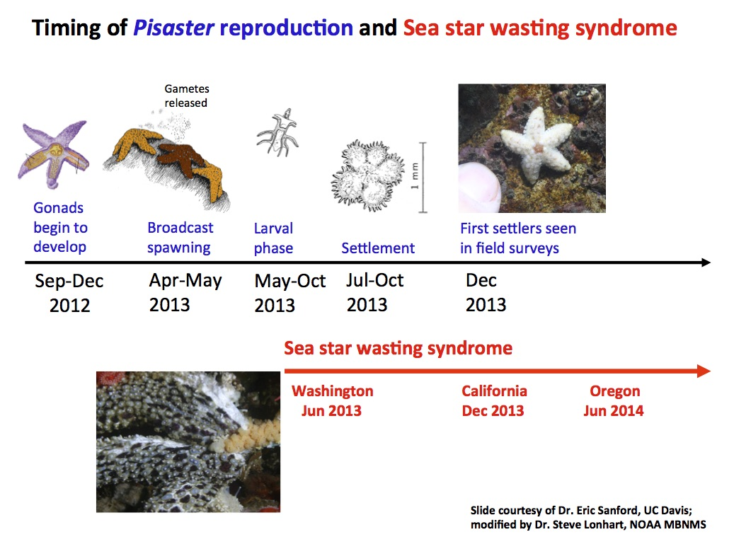 Sea star wasting syndrome (SSWS) in central California