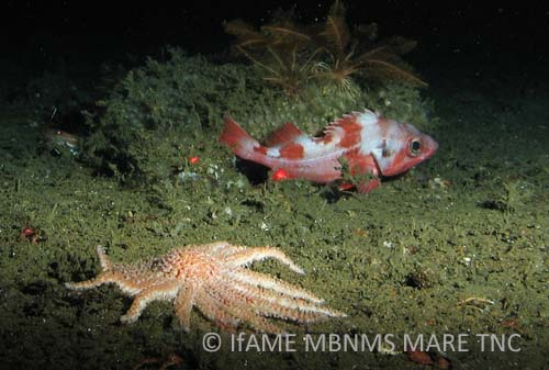 Deep-sea sunstar<br><em>Rathbunaster californicus</em>