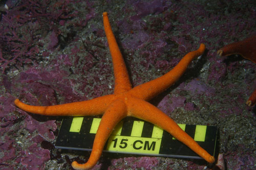 Creased blood star<br><em>Henricia sanguinolenta</em>
