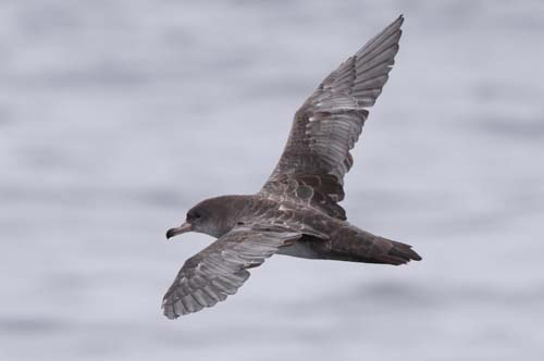 Pink-footed Shearwater<br><em>Puffinus creatopus</em>