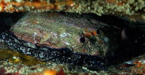 Red Abalone image