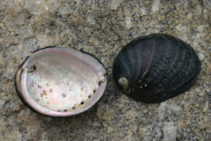 Black Abalone image