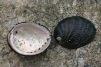 Black Abalone thumbnail