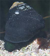 Black Turban Snail thumbnail