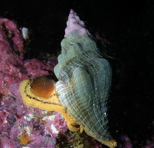 Kellet's whelk image
