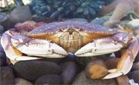 Dungeness Crab thumbnail