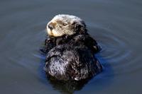 Southern Sea Otter thumbnail