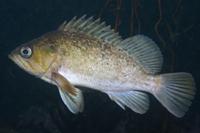 Kelp Rockfish thumbnail