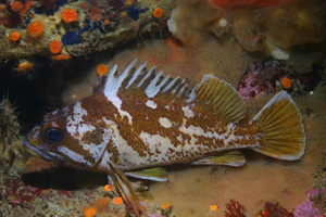 Gopher Rockfish image