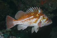 Copper rockfish thumbnail