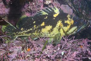 Black and Yellow Rockfish image