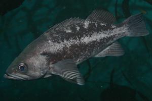 Black rockfish image