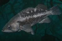 Black rockfish thumbnail
