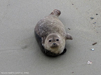 Harbor Seal thumbnail