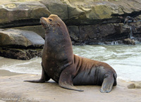 California Sea Lion thumbnail