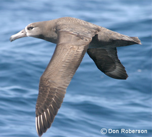 Black-footed Albatross image