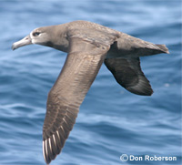 Black-footed Albatross thumbnail