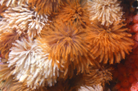 Feather duster worm thumbnail