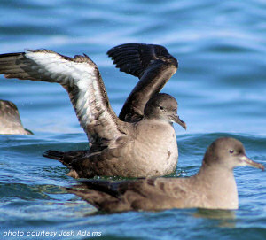 Sooty Shearwater image