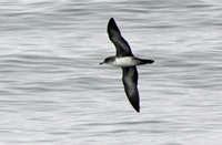 Pink-footed Shearwater thumbnail