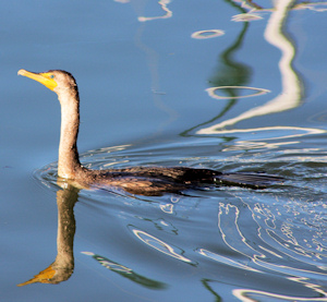 Double Crested Cormorant image