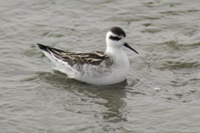 Red-necked Phalarope thumbnail