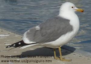California Gull image