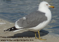 California Gull thumbnail