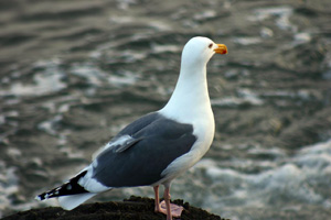 Western Gull image