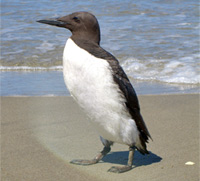 Common Murre thumbnail