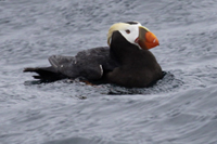 Tufted Puffin thumbnail