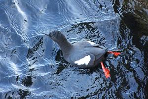 Pigeon guillemot image