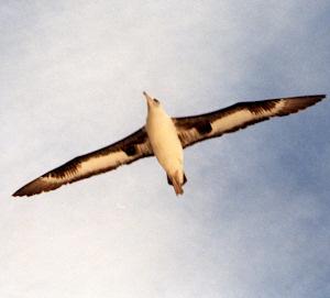 Laysan Albatross image
