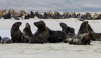 Northern Fur Seal thumbnail