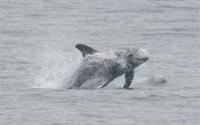 Risso's Dolphin thumbnail