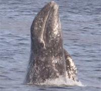 Gray Whale thumbnail