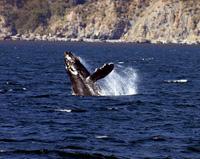 Humpback Whale thumbnail
