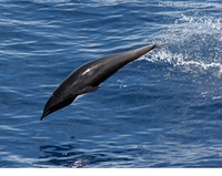 Northern Right Whale Dolphin thumbnail