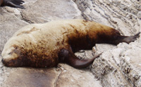 Steller Sea Lion thumbnail