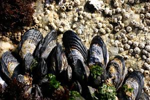 California Mussel image