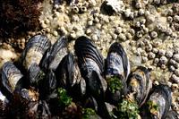 California Mussel thumbnail
