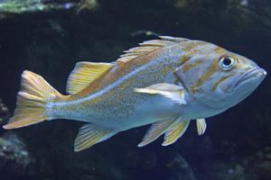 Canary rockfish image