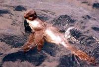 Guadalupe Fur Seal thumbnail
