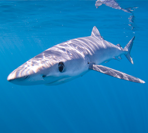 Blue Shark image