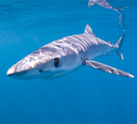 Blue Shark thumbnail