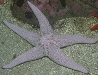 Short-spined sea star thumbnail