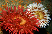 Fish-eating anemone thumbnail