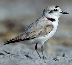 Snowy Plover image
