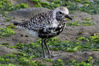Black-bellied Plover thumbnail